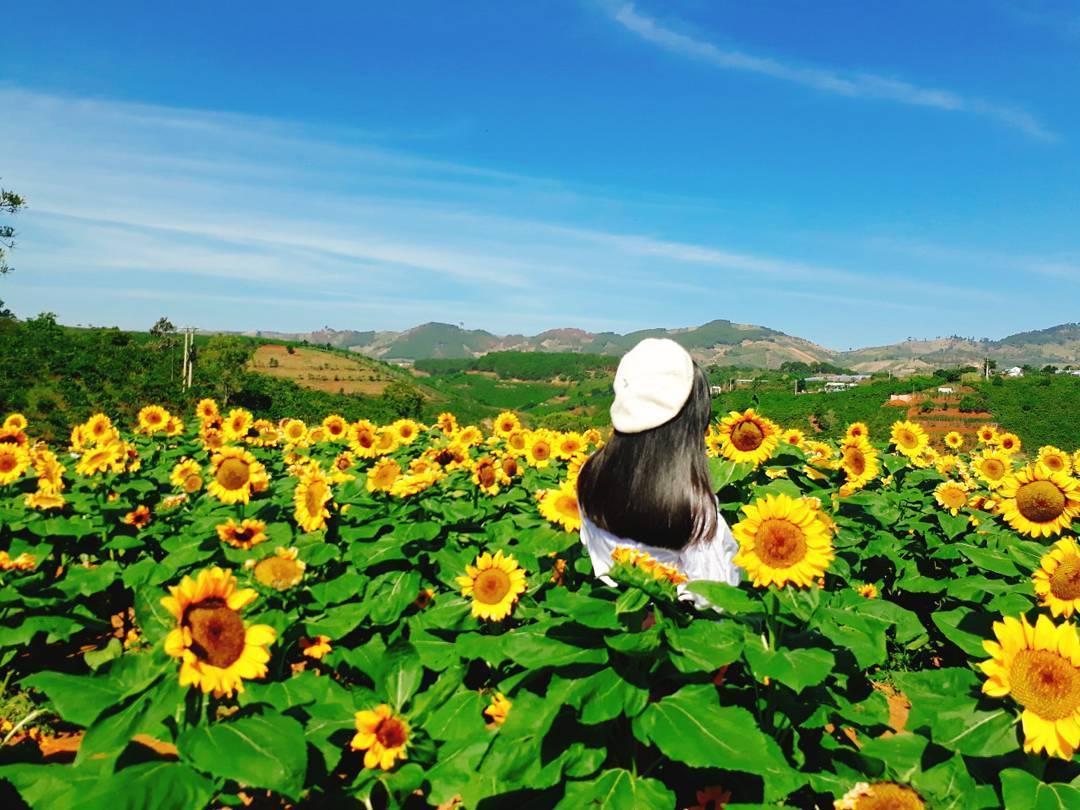 Cẩm nang du lịch mùa hoa hướng dương, cải trắng ở Đà Lạt