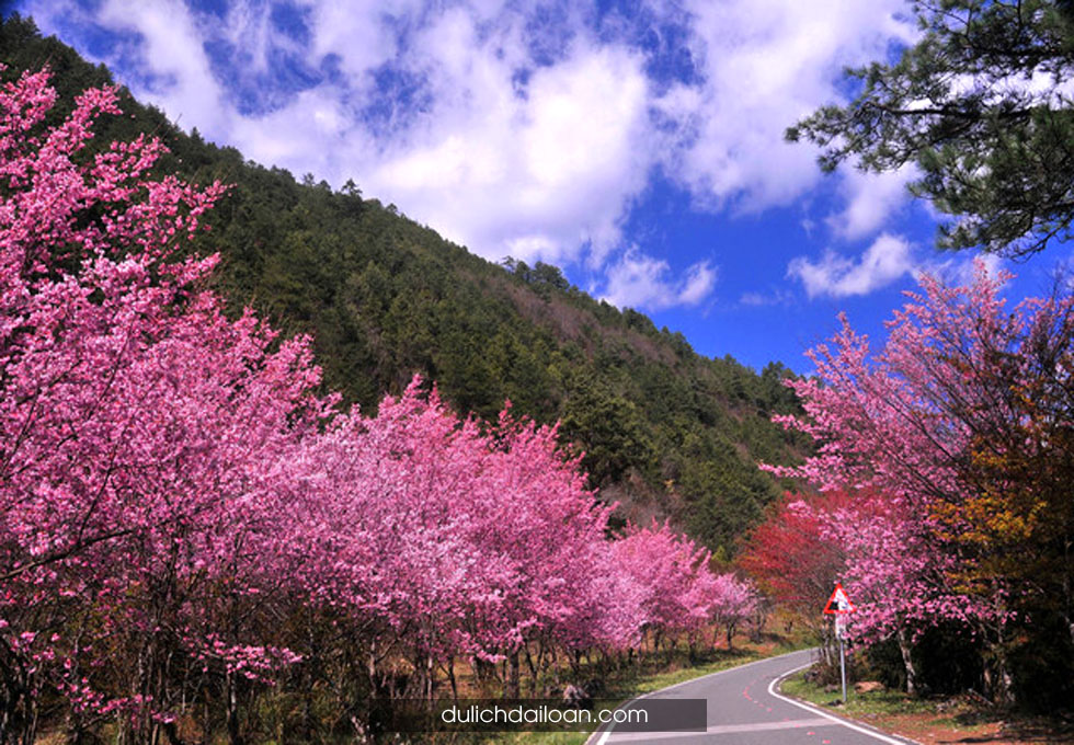 du lịch Đài Loan mùa hoa anh đào