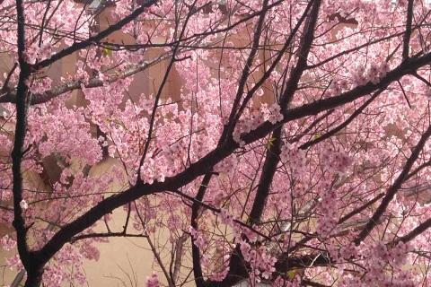 Ký sự du lịch Nhật Bản : Mùa xuân sang có hoa anh đào