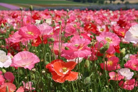 Du lịch Nhật Bản: Thưởng hoa mùa hạ