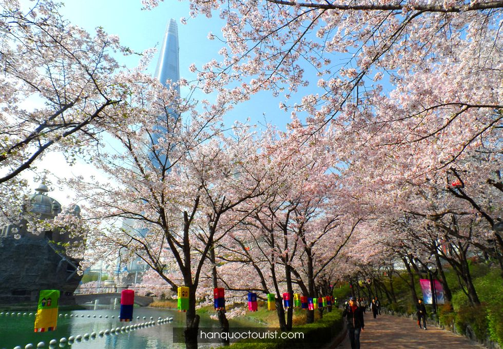 du lịch Hàn Quốc mùa hoa anh đào