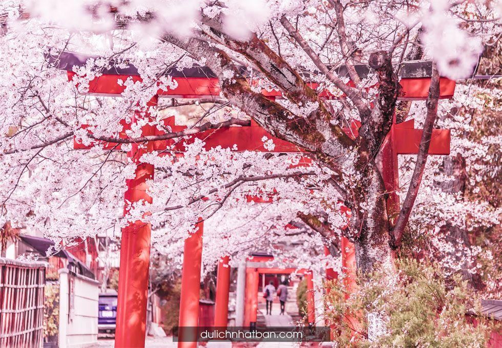 du lịch Nhật Bản Mùa hoa anh đào